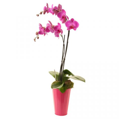 Phalanopsis orchid in a ceramic vase